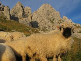 Bei den Schafen am Gimpel