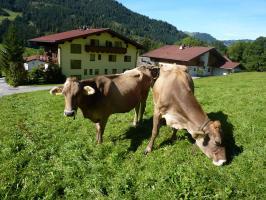 Kühe oberhalb unseres Hauses