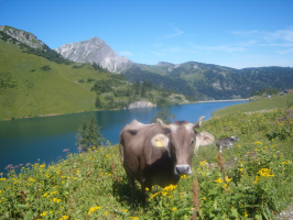 Kuh am Traualpsee
