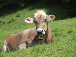 Kuh auf der Sommerwiese