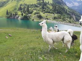 Lama auf der Traualpe